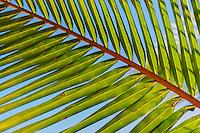 A close-up of palm branch detail, Kaua'i.
