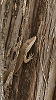 Green Anole (Anolis carolinensis), adult hiding in ceder tree bark, Hill Country, Central Texas, USA