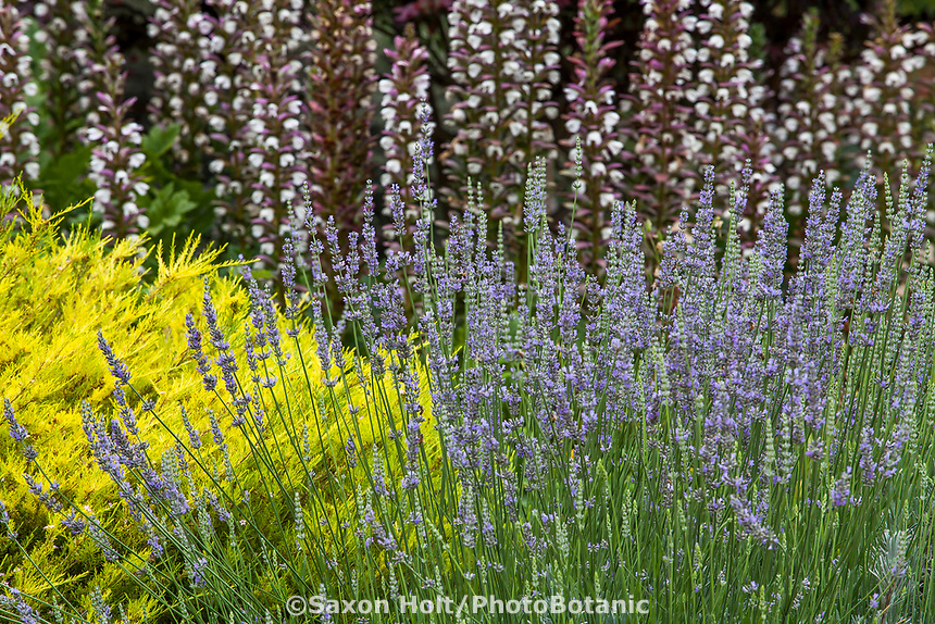 Lavandula angustifolia (aka L. officinalis) flowering fragrant perennial lavender herb in Los Angeles County Arboretum and Botanic Garden with Bear's Breeches and Coleonema