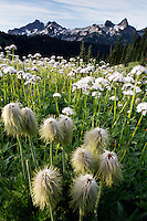 Clump of Western Anemone in wildflower meadow below Tatoosh Range, Edith Creek Basin, Mount Rainier National Park, Washington, USA