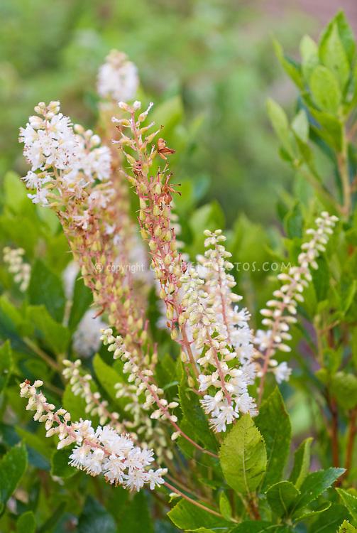 Clethra alnifolia Hummingbird
