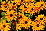 Black Eyed Susans, a wildflower native to North America, in display gardens at Point Defiance Park, Tacoma, WA, which boasts wonderful gardens including rose gardens, dahlia garden, native plant, rhododendron and acres of old growth forest.  Hike, bike, photograph, fish, picnic, kayak, Maryland State Flower, Douglas Orton, nature