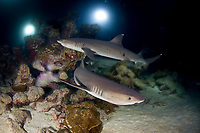 Whitetip reef sharks, Trienodon obesus, hunt at night using divers' lights to find prey on a rocky reef. Manuelita Garden, Cocos Island, Costa Rica, Pacific Ocean