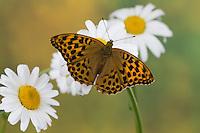 Kaisermantel, Weibchen, Silberstrich, Argynnis paphia, Silver-washed fritillary, female, Le Tabac d'Espagne, Edelfalter, Nymphalidae