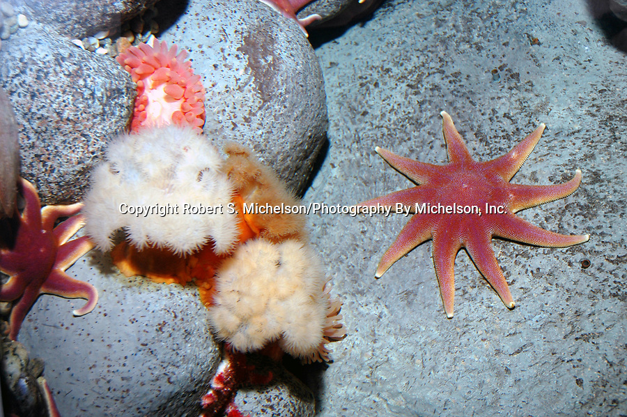 north atlantic deep boulder reef seascape with smooth, or purple sun star, frilled anemone, and northern red anemone