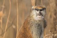 Patas Monkey in Niokolakoba Nature Reserve, Senegal