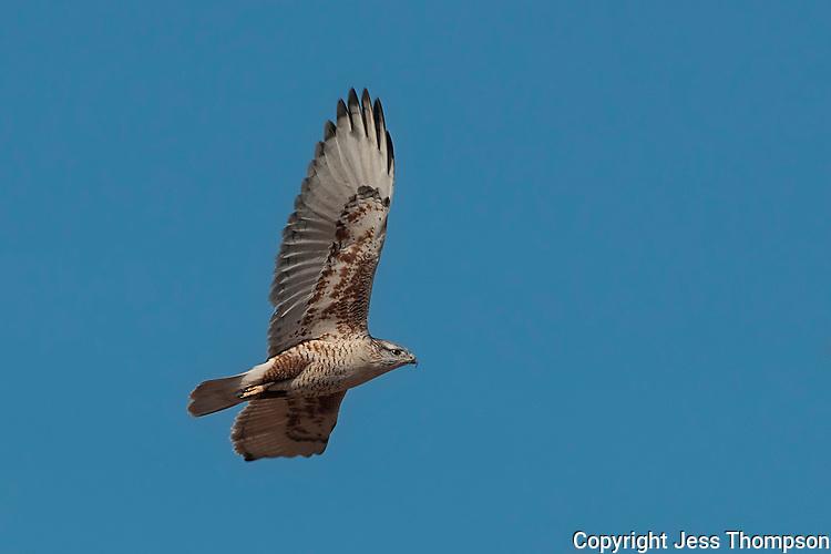 Ferruginous Hawk, Brownfield, Texas