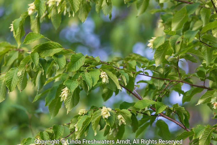 Hop hornbeam growing in northern Wisconsin.