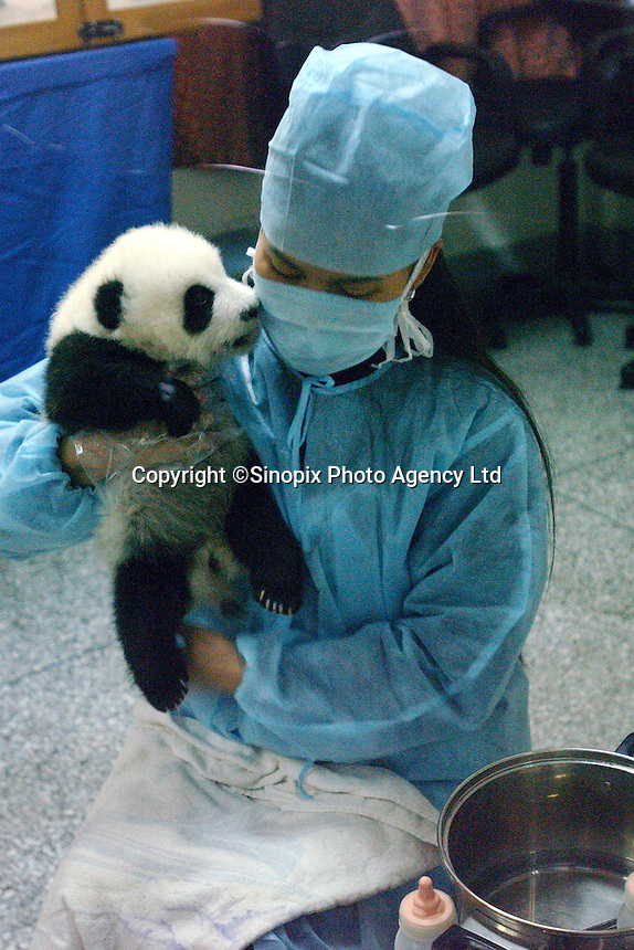 PANDA COMPLEX: CHENGDU: CHINA.Panda nurse Ms Yang, tends to one of  this years four panda cubs at the Chengdu Panda Breeding Complex.  The specially designed Complex is a world's first with facilities for upto 12 mothers, a nursery, a breeding rooman artificial insemination facility and quarters for  staff.  The panda's recieve 24 hour supervision..Photo by Richard Jones/SINOPIX.©sinopix