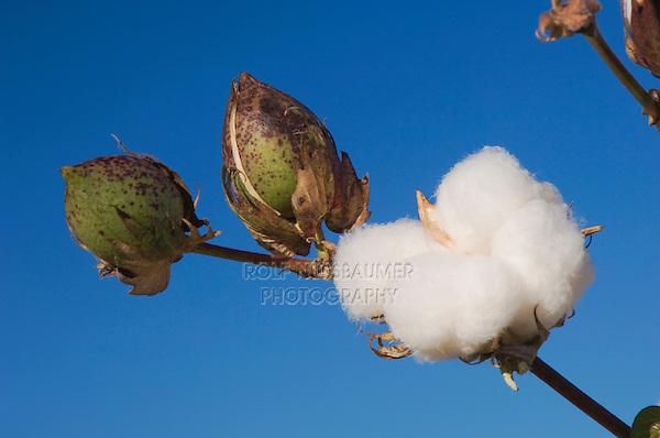 Cotton Plant, Gossypium hirsutum, seedpods, Lubbock, Panhandle, Texas, USA
