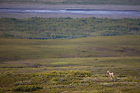 Wolf on the tundra, Denali National Park, Interior, Alaska.
