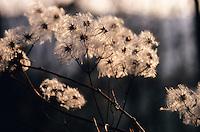 Gewöhnliche Waldrebe, Echte Waldrebe, Wald-Rebe, Früchte, Clematis vitalba, Old Man´s Beard, Traveller´s Joy