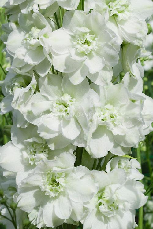 Delphinium Highlander Morning Sunrise in white flowers