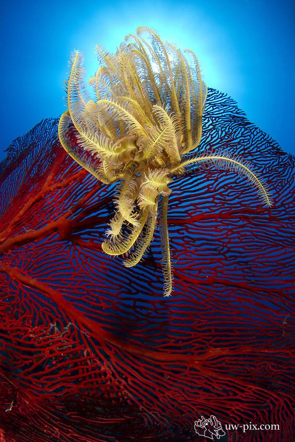 Crinoid - phylum Echinodermata in Fiji