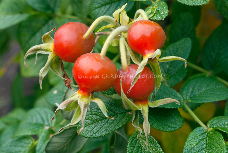 Rose hips from rugosa rose in red rosehip fruits closeup with several in cluster