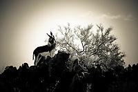 Lone Burro - Wild Burro - Arizona