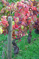 pinot noir vineyard beaune cote de beaune burgundy france