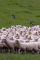 Header dogs gather Romney sheep into flock and drive them home.  Masterton, Wairarapa region, north island, New Zealand.