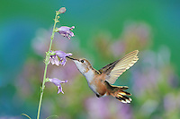 Rufous Hummingbird (Selasphorus rufus), female in flight feeding on Penstemon flower, Gila National Forest, New Mexico, USA