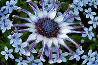 Close up of Osteo Spider Flower.