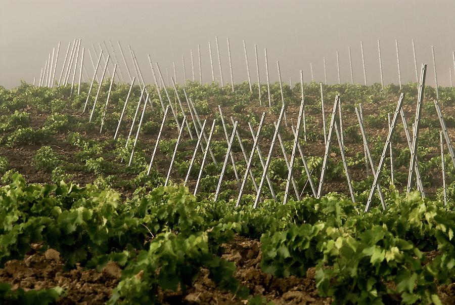 Mafia confiscated vineyards in the Contrada Verzanica assigned to the social cooperative Pio La Torre. Some of the adjacent rows are still owned by the Riina family. / Filari nella Contrada Verzanica asseganta alla cooperativa Pio La Torre. I filari confinanti sono ancora di proprietà della famiglia Riina.