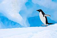 Adult Adelie penguin (Pygoscelis adeliae) on iceberg near the Antarctic Peninsula, Antarctica