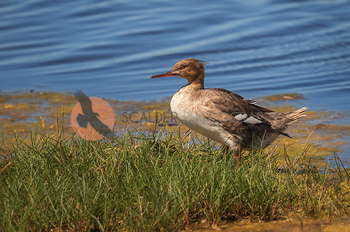 Common Merganser, Female standing at edge of water