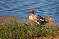 Common Merganser, Female standing in grass at edge of water