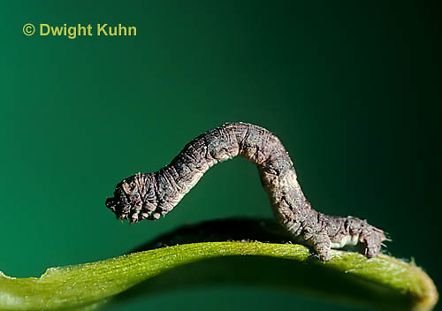 LE11-008z  Moth - measuring worm (inch worm) looping along leaf - larva of moth spp.