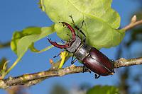 Hirschkäfer, Männchen, Hornschröter, Hirsch-Käfer, Lucanus cervus, Stag beetle, male, Schröter, Lucanidae, Stag beetles