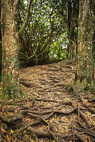 Path and tree roots at Rainbow Falls. Hawaii, The Big Island