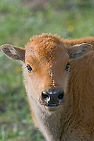 Young American Bison calf (Bison bison).  Yellowstone National Park, spring.