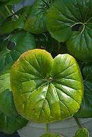 Farfugium japonicum var giganteum, Leopard Plant big leafed foliage