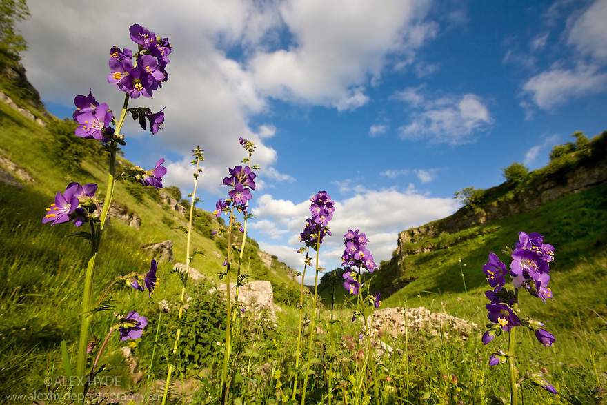 Jacob's Ladder {Polemonium caeruleum} in flower, Lathkill Dale NNR, Peak District National Park, UK. June.