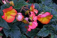 Flores Begônia ( Begonia semperflorens). UK. Foto de Manuel Lourenço.