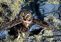 OW02-397z  Saw-whet owl - spreading wings - Aegolius acadicus