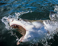 """""""Tickling up"""" Great White Shark (Carcharodon carcharias) - technique used by Andre Hartman to open the shark's mouth, Dyer Island, South Africa - Atlantic Ocean"""