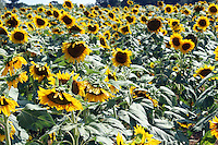 Stock photo: Sunflowers farm in country side of Georgia USA with all flowers looking in one direction.