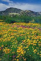 Mexican poppies and red owl's-clover<br /> Puerto Blanco Mountains<br /> Organ Pipe Cactus National Monument<br /> Sonoran Desert,  Arizona