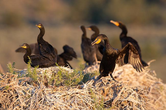 Double-crested Cormorant (Phalacrocorax auritus) nests. Lake County, Oregon. July.