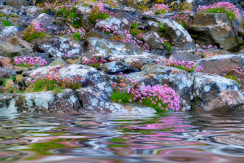 Sea Pink or Sea Thrift wildflowers in rosks with lichens and ocean reflection . Near Port Bradden. Northern Ireland