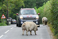 BNPS.co.uk (01202 558833)<br /> Pic: Graham Hunt/BNPS<br />  <br /> Pictured: A pig foraging in the verge next to the B3079 near Brook.<br /> <br /> Hundreds of pigs have been let loose in the ancient New Forest national park to gobble up fallen acorns which are poisonous to other animals. <br /> <br /> The quirky tradition involves swine roaming the Hampshire woodland to clear it of the fruit which can be fatal to the famous ponies and cattle. <br /> <br /> Commoners released their herds today marking the beginning of the annual event known locally as Pannage. <br /> <br /> They will spend 60 days rummaging around the 70,000 acre forest before being rounded up in November.