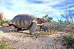 Desert Tortoise