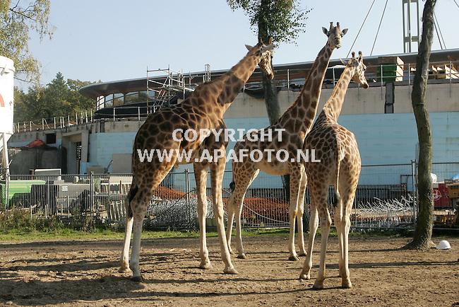 arnhem 131005 nieuwe stallen burgers bush.<br />De giraffen in de bush houden de nieuwbouw scherp in de gaten .vanaf morgen mogen ze in hun nieuwe verblijven.<br />Foto frans ypma APA-foto