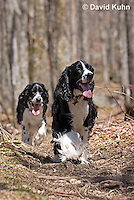 0720-1003  English Springer Spaniels Hiking on Mount Rogers Trail in Southwest Virginia, Canis lupus familiaris  © David Kuhn/Dwight Kuhn Photography