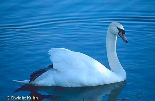 DG11-005z  Mute Swan - Cygnus olor