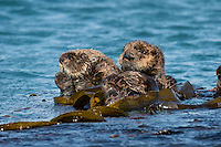 Southern Sea Otter (Enhydra lutris nereis) mother with pup resting in kelp.  Central California Coast.
