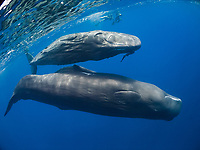 sperm whale, Physeter macrocephalus, mother and calf, Dominica, Caribbean Sea, Atlantic Ocean
