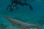 American Crocodiles, Crocodile, Cuba Underwater, Gardens of the Queen Cuba Underwater, Jardines de la Reina, Protected Marine park underwater, reef scenic, Crocodile and underwater photographer