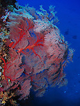 Orchid Island, Taiwan -- Huge Gorgonian sea fan on the Ba Dai ship wreck.<br /> <br /> It was at least 2.5 m high.